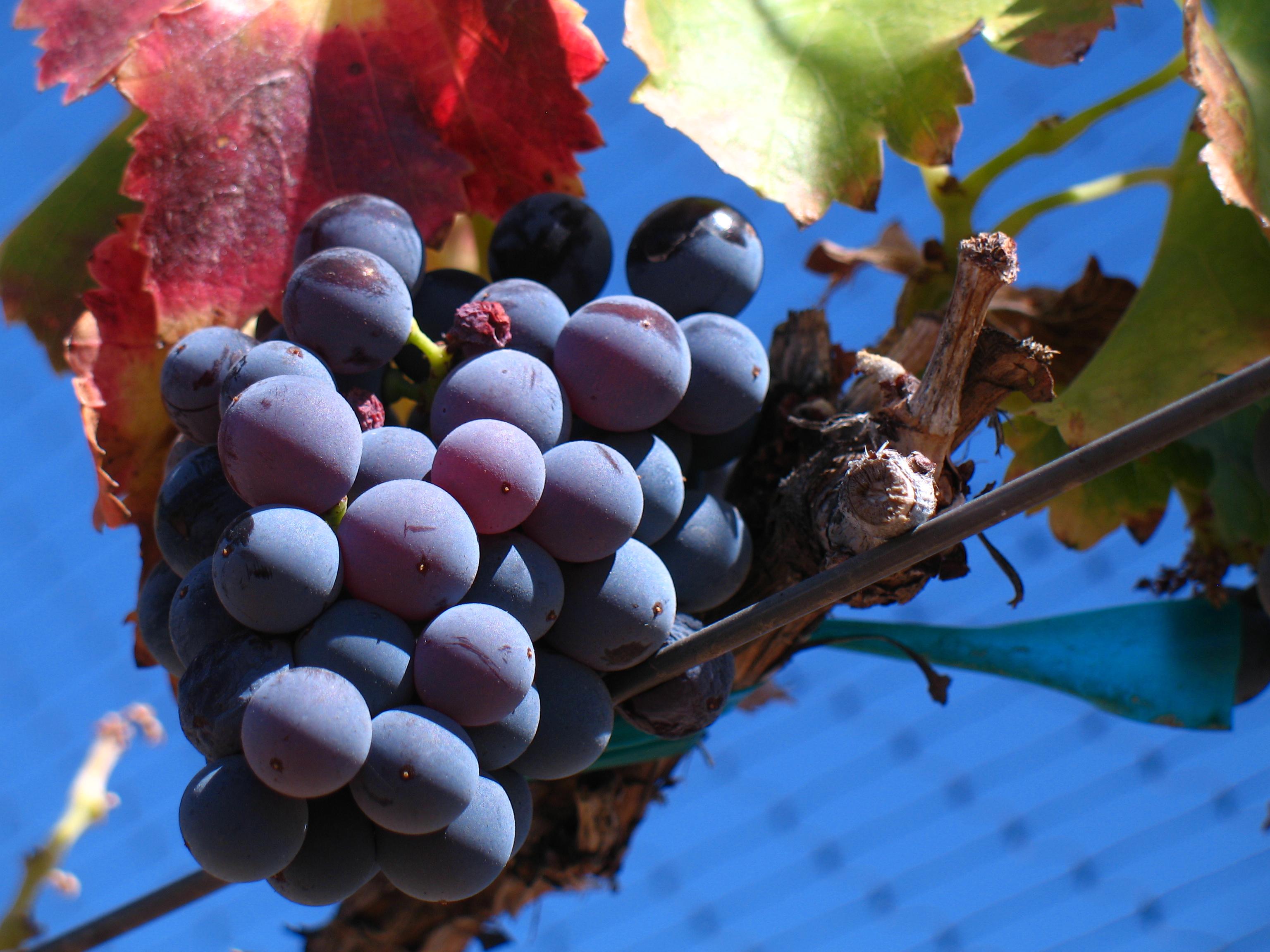 Grenache_noir_grapes