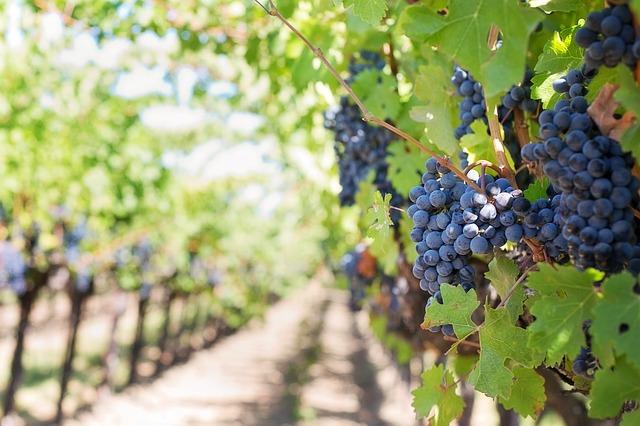 La qualitat del raïm en els vins cars