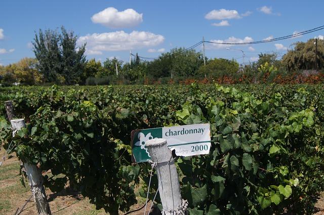 ABC del vino. Viñedo de Chardonnay